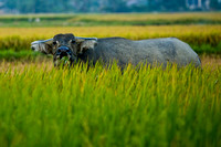 The Buffalo in the rice fields