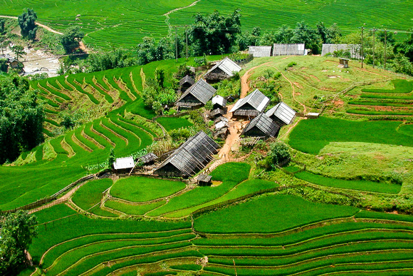 Rice fields on August